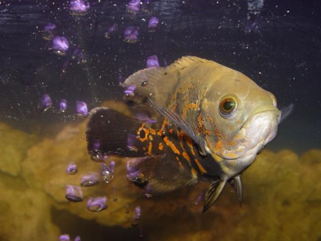 астронотус черно-оранжевого цвета в аквариуме
