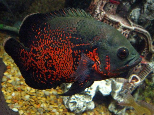 астронотус красно-черного цвета в аквариуме