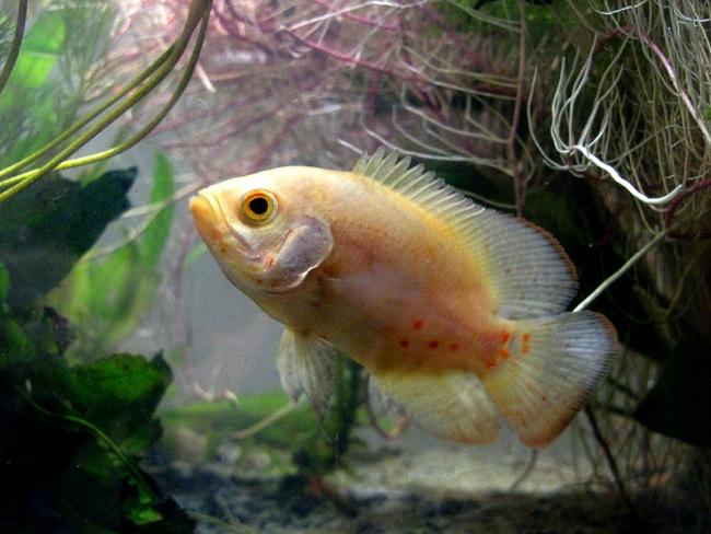 бледно оранжевый астронотус в аквариуме