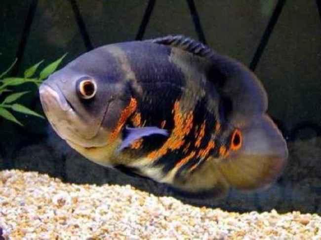 астронотус черно-оранжевого цвета плавает у дна аквариума
