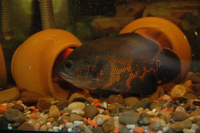 астронотус черно-оранжевого цвета плавает в аквариуме рядом с горшками