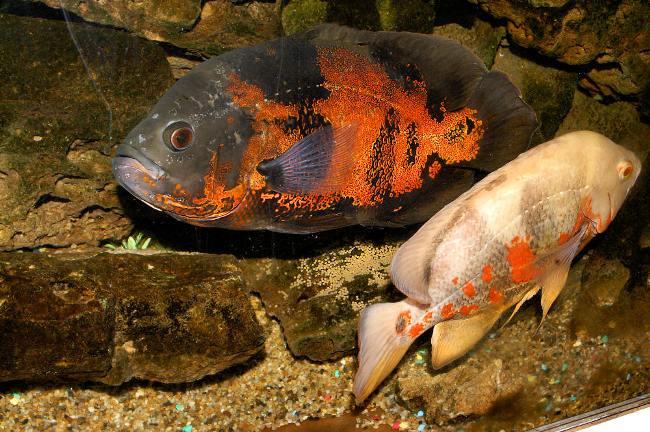 черно-оранжевый и красно-белый астронотусы в аквариуме