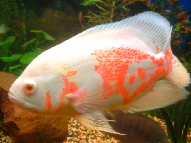 красно-белый астронотус в аквариуме