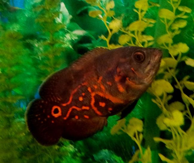 астронотус черно-оранжевого цвета в аквариуме на фоне растений