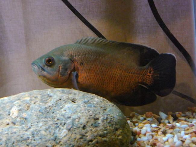 черно-золотой астронотус плавает в аквариуме у камня