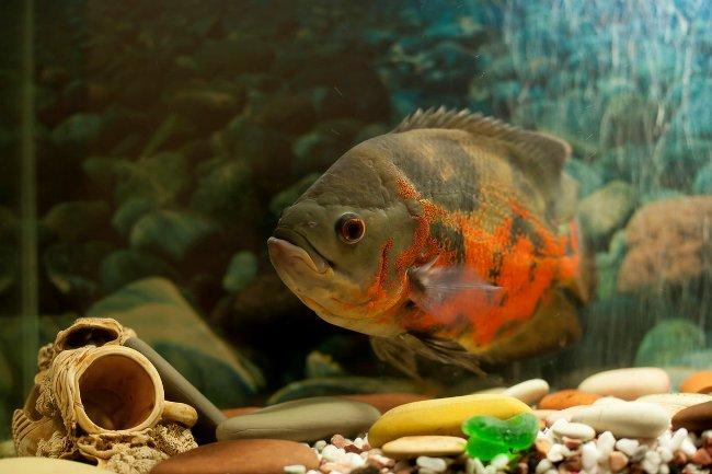 черно-оранжевый астронотус плавает у дна аквариума