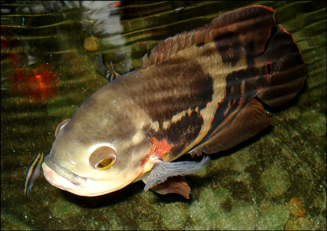 рыбка астронотус