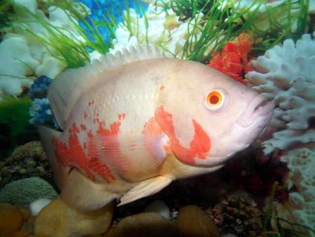 красно-белый астронотус плавает в аквариуме