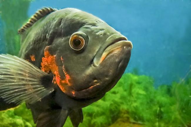 рыбка астронотус или оскар