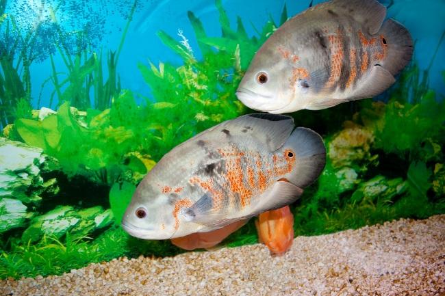 пара астронотусов в аквариуме