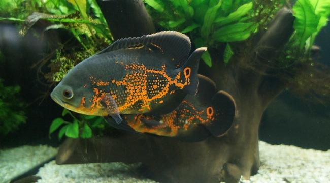 черно-оранжевые астронотусы в аквариуме на фоне коряги