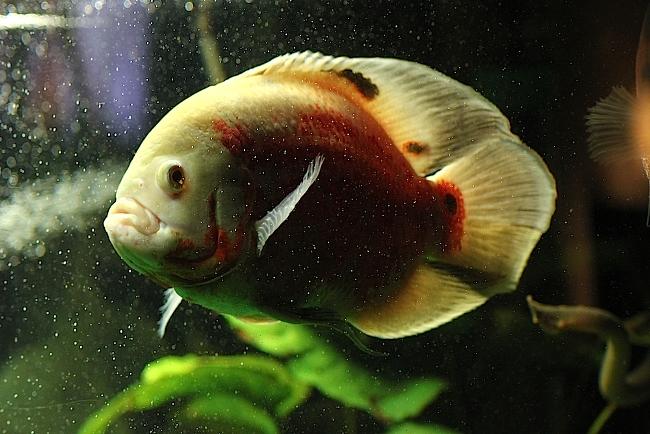 астронотус красно-белого цвета в аквариуме