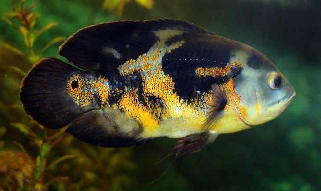 астронотус черно-оранжевого цвета плавает в аквариуме