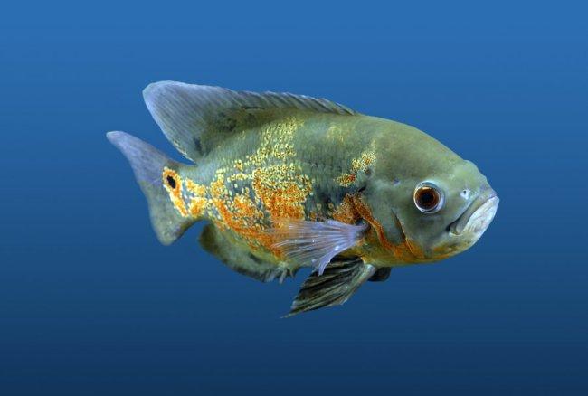 рыба астронотус или оскар