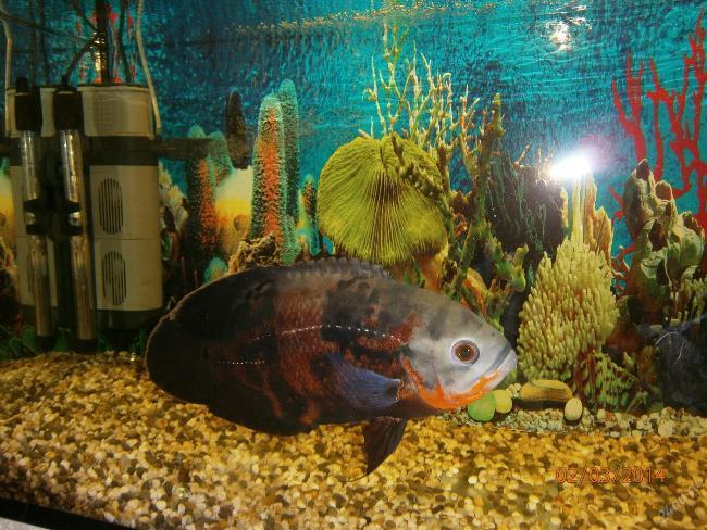 астронотус в аквариуме
