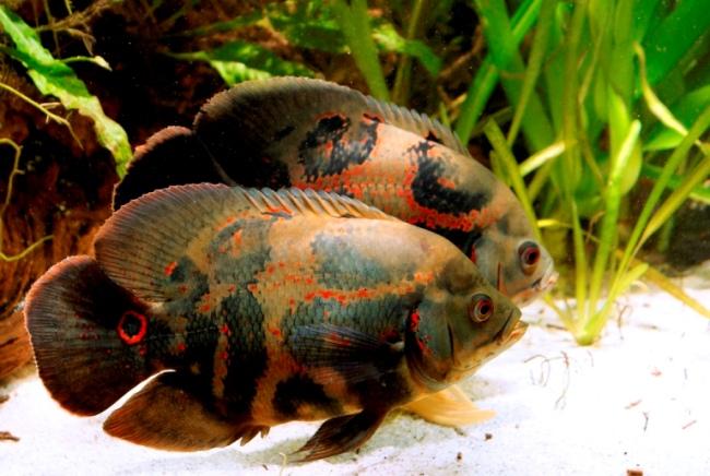 астронотусы плавают у дна аквариума на фоне растений