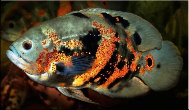 рыбка семейства цихловых астронотус