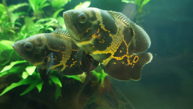 черно-оранжевые астронотусы в аквариуме на фоне растений