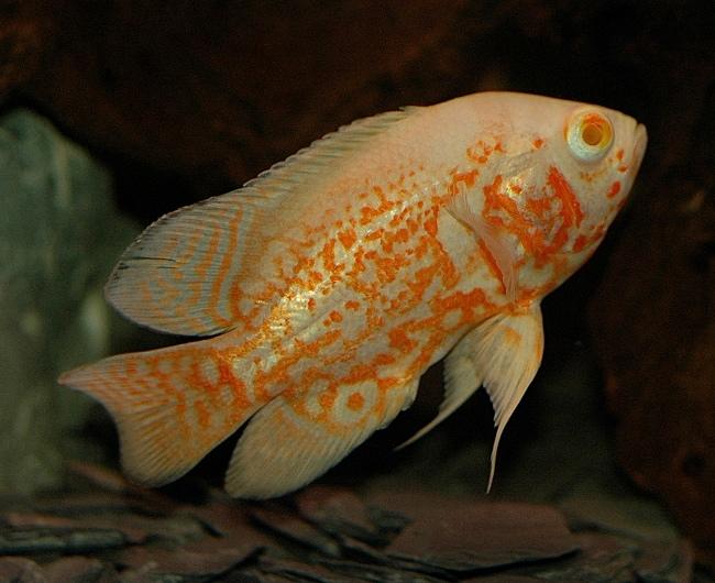 бело-оранжевый астронотус