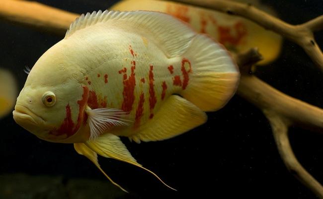 красно-белый астронотус плавает в аквариуме на фоне коряги