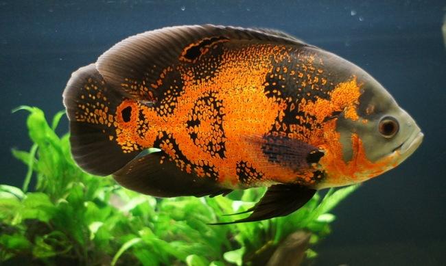 черно-оранжевый астронотус в аквариуме на фоне растений