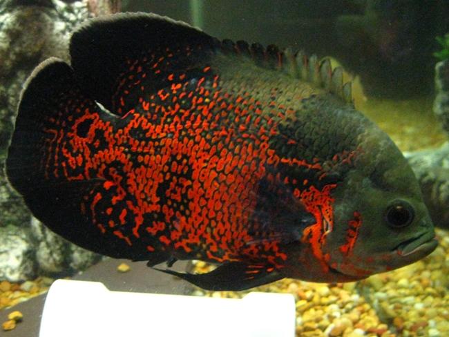аквариумная рыбка астронотус черно-оранжевого цвета