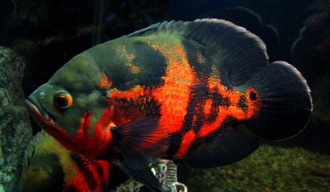 цихлида астронотус черно-оранжевой окраски