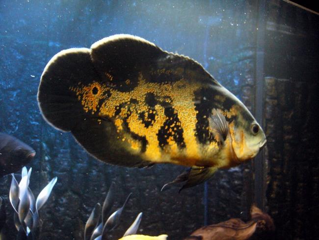 аквариумная рыбка астронотус черно-золотой окраски