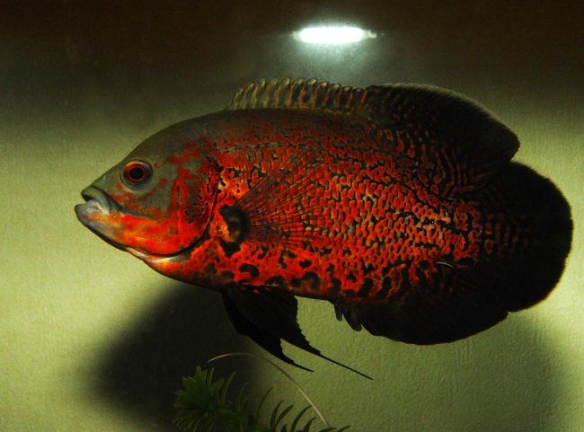 цихлида астронотус красно-черной окраски в аквариуме