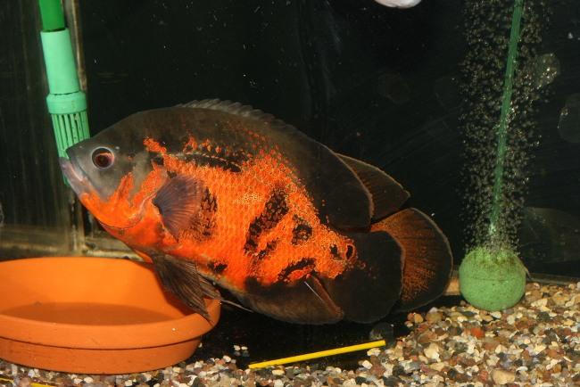 рыбка астронотус черно-оранжевого цвета плавает у дна в аквариуме