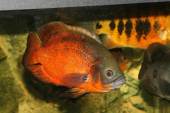 рыбка астронотус серо-золотой окраски в аквариуме