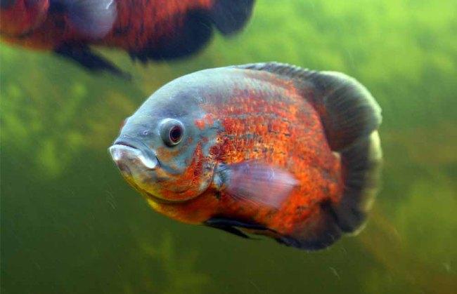 рыбка астронотус плавает в аквариуме