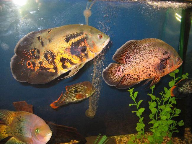 астронотусы в аквариуме с другими рыбками