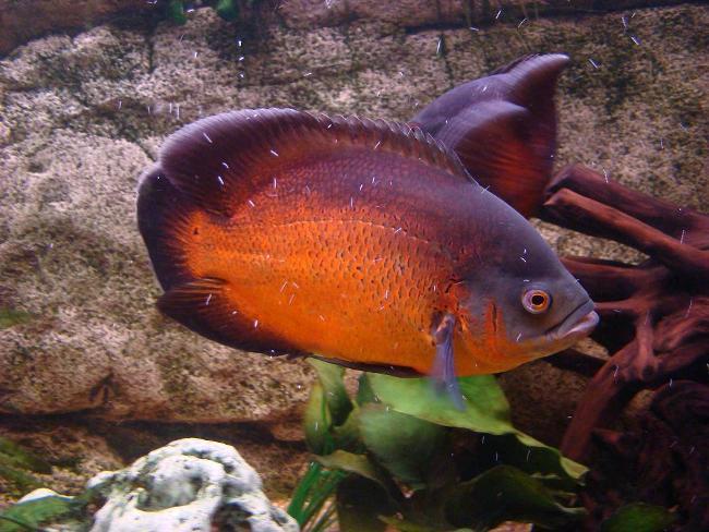 рыбка астронотус или оскар плавает в аквариуме