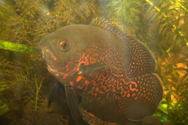 рыбка астронотус черно-красной окраски в аквариуме на фоне растений