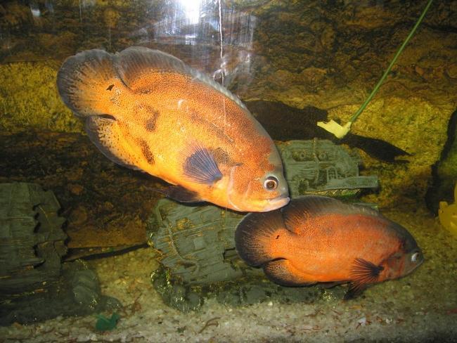 пара астронотусов золотой окраски в аквариуме
