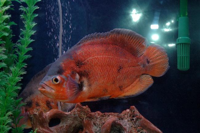 астронотус красного цвета в аквариуме