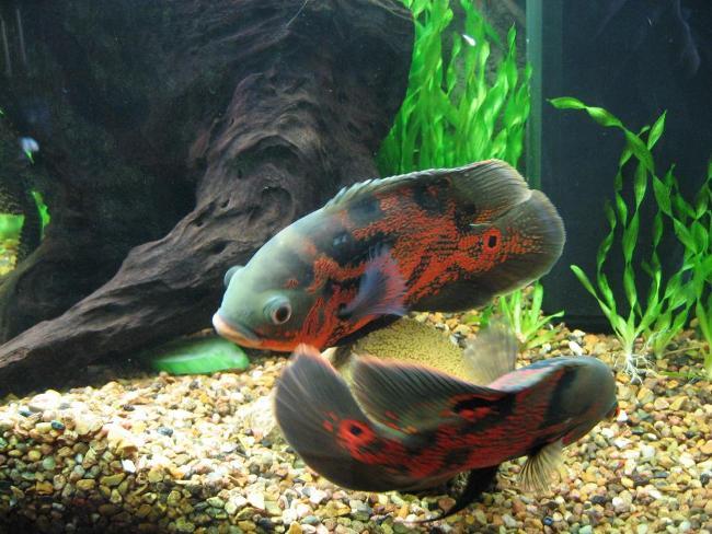 пара рыбок астронотусов черно-оранжевого цвета в аквариуме