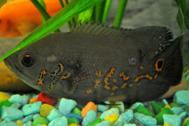 астронотус черного цвета в аквариуме