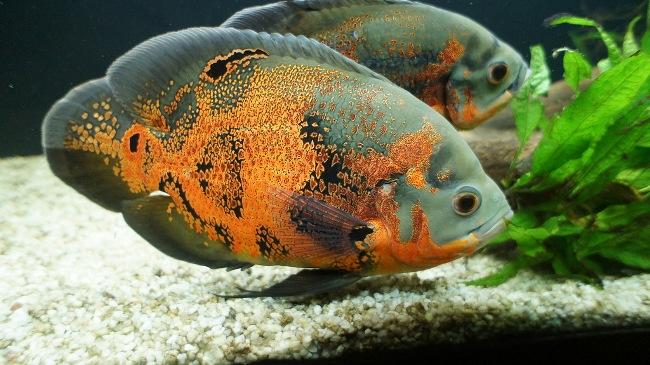 черно-оранжевые астронотусы плавают у дна аквариума