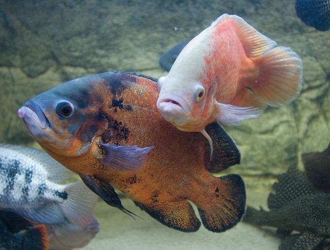 астронотусы с другими рыбками в аквариуме