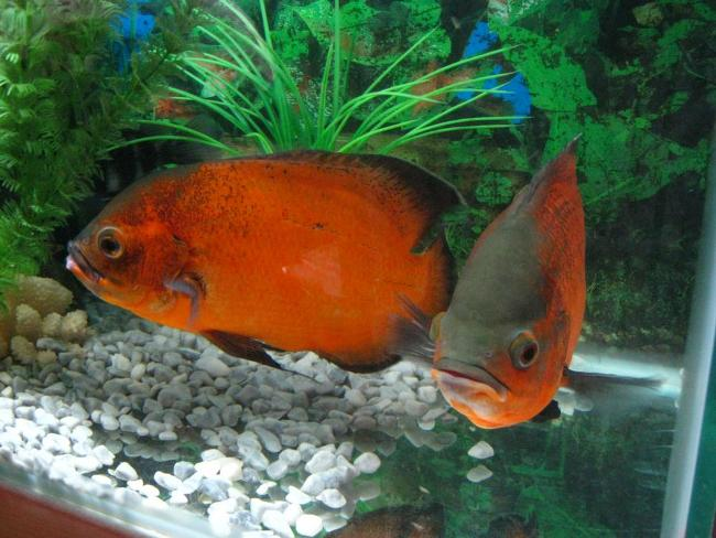 рыбки астронотусы в аквариуме
