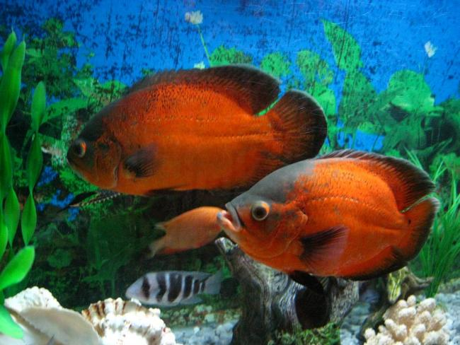 рыбки астронотусы с другими рыбками в аквариуме