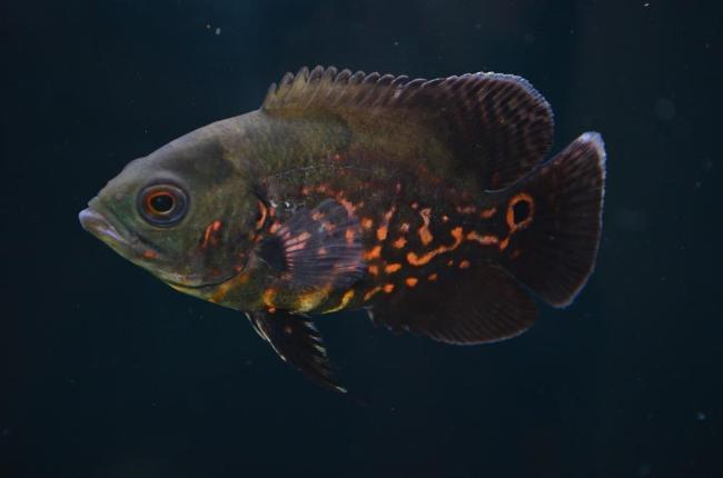 рыбка семейства цихловых астронотус или оскар