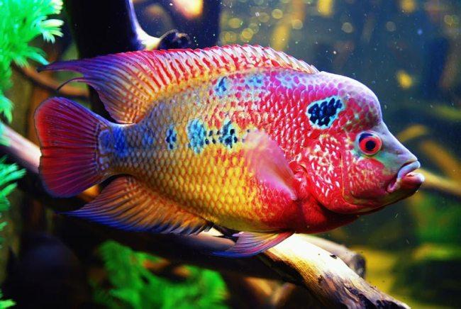 рыбка флауэр хорн ярких цветов