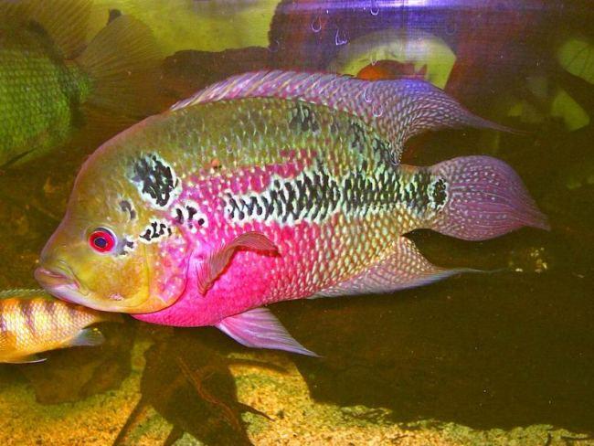 рыбка флауэр хорн