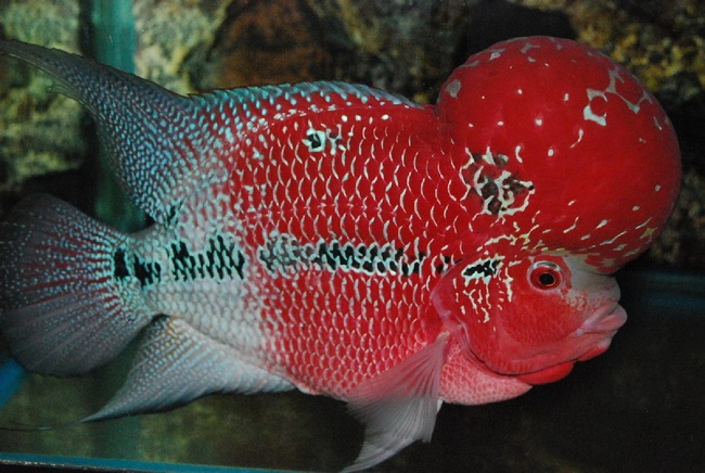 красный флауэр хорн с крупным горбом на лбу