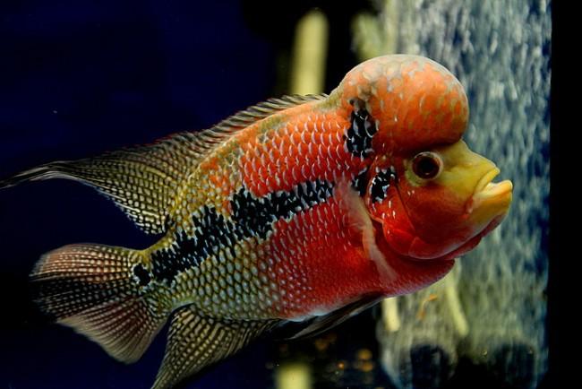 флауэр хорн красно-золотого цвета