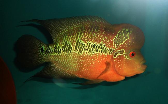 рыбка флауэр хорн или тайский шелк