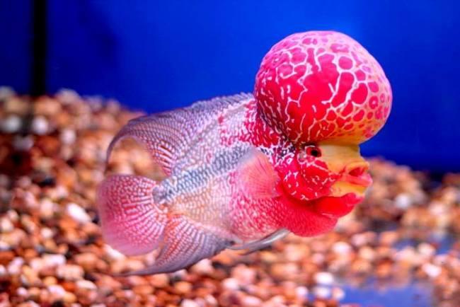 флауэр хорн красно-розового цвета с большим горбом на лбу